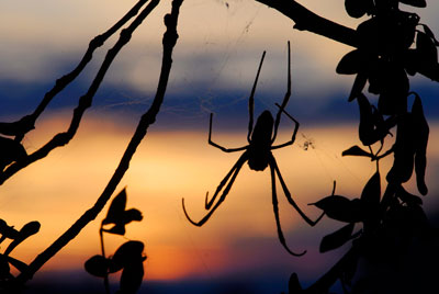 A photograph of a <i>Nephila clavipes</i> spider in its web silhouetted against a yellow sky