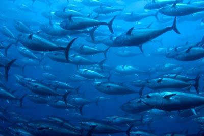 Photo of bluefin tuna