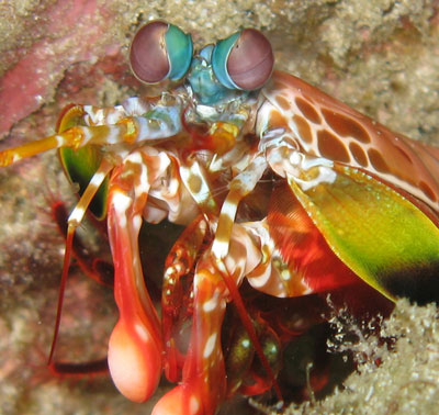 Photograph of a harlequin mantis shrimp