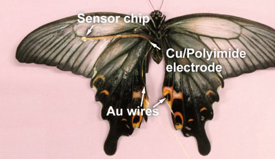 The butterfly with the sensor attached