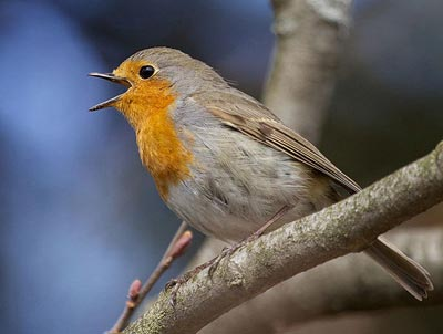 Photo of a European robin