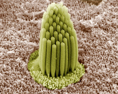 Image of stereocilia from a frog's inner ear