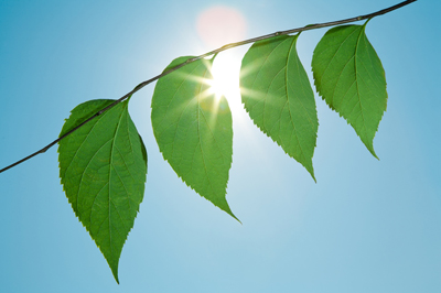 Photograph of leaves in the sunshine